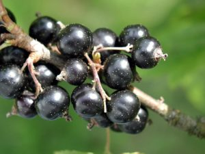 Blackcurrants and Brandy