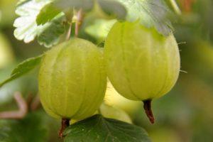 Gooseberries / Gooseberry